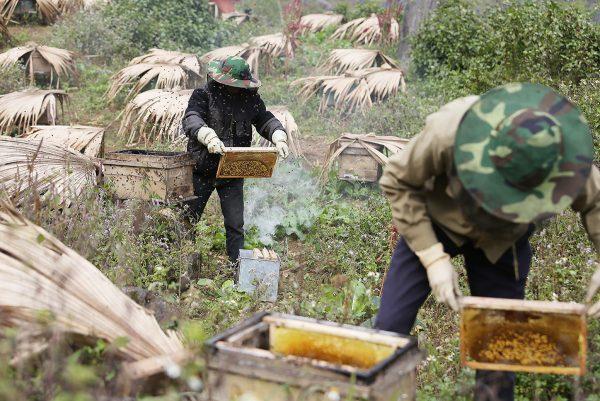 Thu hoạch mật ong bạc hà