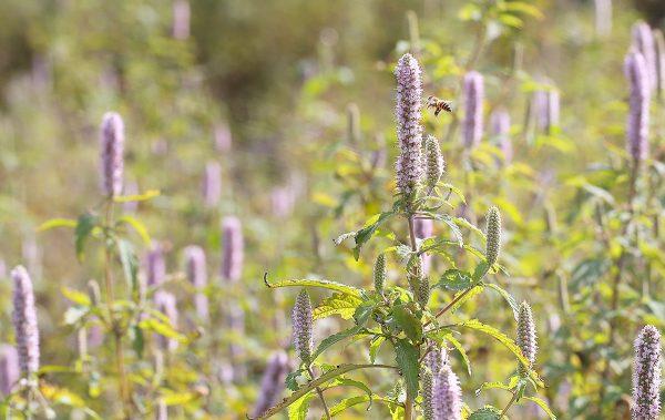 Cây hoa bạc hà – loài cây mọc dại nhiều tại cao nguyên núi đá Hà Giang.