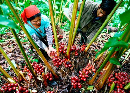 Thảo quả - sản vật quý của núi rừng Hà Giang